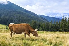 Idyllic view of nice brown cow grazing in green pasture field fr. Esh grass on bright sunny day. Magnificent mountains in distance, blue sky,white clouds Royalty Free Stock Photos