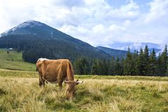 Idyllic view of nice brown cow grazing in green pasture field fr. Esh grass on bright sunny day. Magnificent mountains in distance, blue sky,white clouds Royalty Free Stock Images