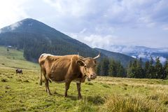 Idyllic view of nice brown cow grazing in green pasture field fr. Esh grass on bright sunny day. Magnificent mountains in distance, blue sky,white clouds Royalty Free Stock Image