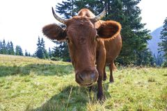 Idyllic view of nice brown cow grazing in green pasture field fr. Esh grass on bright sunny day. Farming and agriculture Royalty Free Stock Image