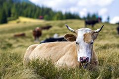 Idyllic view of nice brown cow grazing in green pasture field fr. Esh grass on bright sunny day. Magnificent mountains in distance, blue sky,white clouds Royalty Free Stock Photo