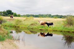 Idyllic view at a pastureland with grazing cows at the Russian part of Baltic Spit. Royalty Free Stock Photos