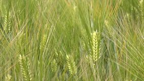 Idyllic wheat field close up. Wheat ears swaying on spring wind, tranquil natural scene stock video