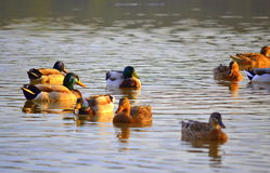Idyllic wild ducks lake view. Beautiful autumn lake scenery and wild ducks at sunset. Mallard (Anas platyrhynchos) is representative of the family Waterfowl Stock Photos