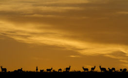 Idyllic wildlife silhouette. A herd of Blesbuck antelope on the plains under the setting sun Royalty Free Stock Image