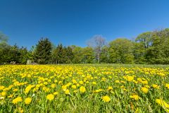 Idylliczna kwiat łąka z dandelions przy krawędzią las fotografia stock
