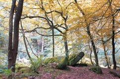 Idyllicznej spokojnej jesieni lasowa scena z wysokich drzew nasłonecznionym złotym ulistnieniem i ampuła mech zakrywał głazy w le obrazy stock