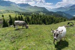 Idylliczny góra krajobraz w lecie z krowami i nakrywać górami w tle zdjęcie royalty free