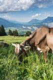 Idylliczny góra krajobraz w Szwajcaria z pastwiskową krową w przedpolu fotografia royalty free