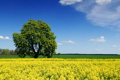 Idylliczny krajobraz, osamotniony cisawy drzewo wśród poly zdjęcia royalty free