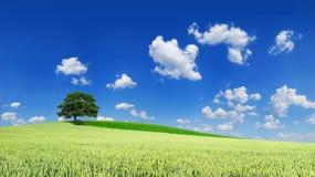 Idylliczny krajobraz, osamotniony drzewo w?r?d zielonych poly obrazy stock