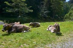 Idylliczny krajobraz w Alps z pastwiskowymi krowami w lecie obrazy stock