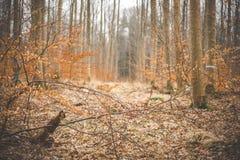 Idylliczny las w spadku z bukowymi drzewami obrazy stock