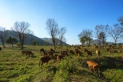 Idylliczny lato krajobraz z krowami w trawy polu w Środkowych średniogórzach Wietnam zdjęcie royalty free