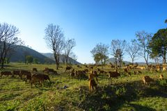 Idylliczny lato krajobraz z krowami w trawy polu w Środkowych średniogórzach Wietnam fotografia royalty free