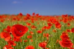 Idylliczny widok, łąka z czerwonymi maczkami obraz stock