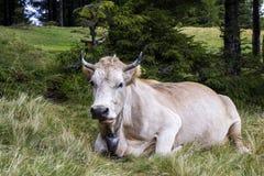 Idylliczny widok dwa brown krowy pasa w zielonym paśnika polu fr obrazy royalty free