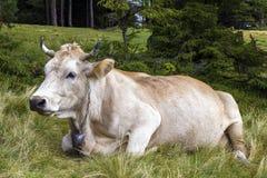 Idylliczny widok dwa brown krowy pasa w zielonym paśnika polu fr fotografia stock
