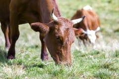 Idylliczny widok dwa brown krowy pasa w zielonym paśnika polu fr fotografia royalty free