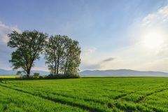 Idylliczny zmierzchu krajobraz z drzewami na pszenicznym polu zdjęcia stock