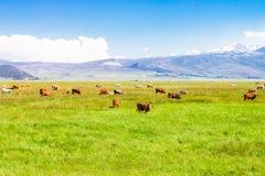 Idyllisch de zomerlandschap met koe het weiden stock foto's