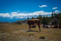 Idyllisch landschap met koeien die in verse groene weiden weiden stock fotografie