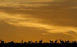 Idyllische Afrikaanse safarisillhouette Royalty-vrije Stock Afbeeldingen