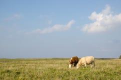 Idyllische Ansicht an einem Weideland mit dem Weiden lassen von Kühen Stockfotografie