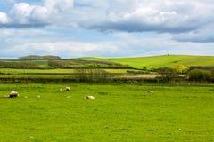 Idyllische Landschaft mit Schafen und Lämmern Stockfotografie