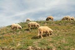 Idyllische sheeps die binnen calen staren Royalty-vrije Stock Afbeeldingen