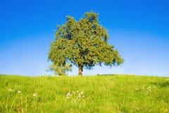 Idyllische Wiese mit Baum Lizenzfreie Stockfotos