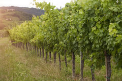 Idyllische wijngaard, druiven in rij Stock Afbeelding