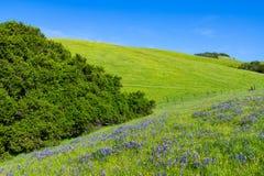 Idyllisk vårplats av en blå lupine och gula vildblommor i frodiga gröna fält och kullar royaltyfria foton