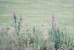 Idylliska blommande purpurfärgade vildblommor med solsken i lantligt landskap med det jordbruks- jordbruksmarkfältet i bakgrunden arkivfoto