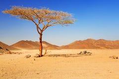 Idylliskt ökenlandskap med det enkla trädet Fotografering för Bildbyråer