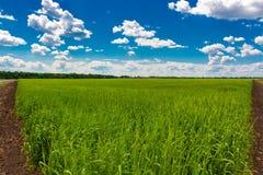 Ield av gr?nt vete under bl? himmel och vita moln fotografering för bildbyråer