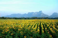 Ield of blooming sunflowers Stock Photography