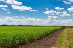 Ield des gr?nen Weizens unter blauem Himmel und wei?en Wolken stockfotografie