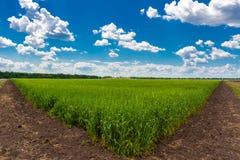 Ield des gr?nen Weizens unter blauem Himmel und wei?en Wolken stockbilder