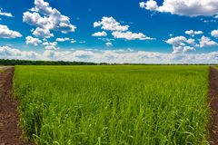 Ield van groene tarwe onder blauwe hemel en witte wolken stock afbeelding