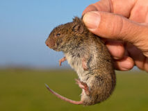 Ield vole (Microtus agrestis). Field vole (Microtus agrestis) kept in hand by researcher Stock Images