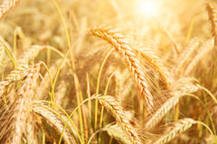 Ield of yellow wheat in sun rays Stock Image