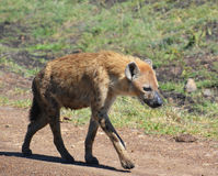Iena che vaga in cerca di preda in una riserva di caccia Immagine Stock Libera da Diritti