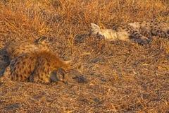 Iene di sonno nel parco nazionale di Kruger Il Sudafrica 3 Fotografia Stock