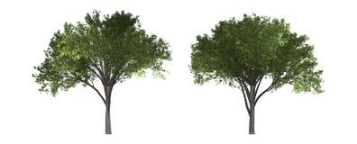 Iepboom op witte achtergrond met het knippen van weg wordt geïsoleerd die stock foto's