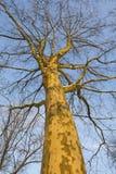 ieper法国梧桐垒结构树 免版税图库摄影