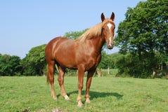 Iers paard Royalty-vrije Stock Foto