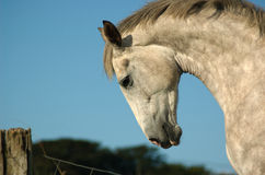 Iers Paard Stock Fotografie