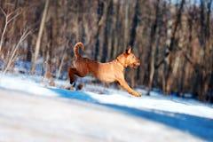 Iers Terrier die in de sneeuw op de achtergrond van bomen springen Stock Foto