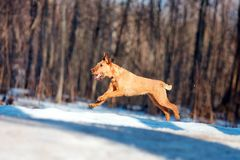 Iers Terrier die in de sneeuw op de achtergrond van bomen springen Royalty-vrije Stock Foto's